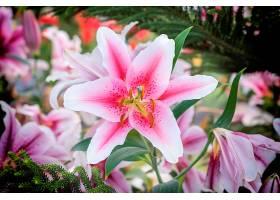 花园里美丽的粉色百合_113126501