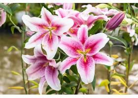花园里美丽的粉色百合_113126601