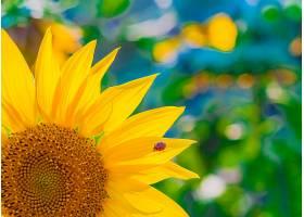 风景如画的壁纸以向日葵为特写以绿色为_119034301