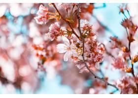 美丽的树枝上开着樱花_1232798501