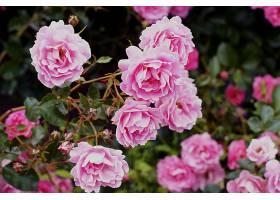 灌木丛上生长着美丽的粉红色花园玫瑰的特写_1018677001