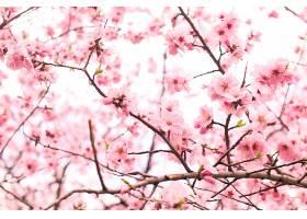 美丽的樱花_767777101