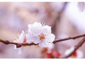 美丽的樱花_767777601