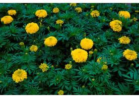 黄色万寿菊花园_469391001