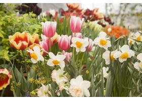 美丽的花园五颜六色的郁金香和水仙花_1099039301