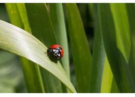 瓢虫坐在许多其他瓢虫后面的一片绿叶上_1106323201