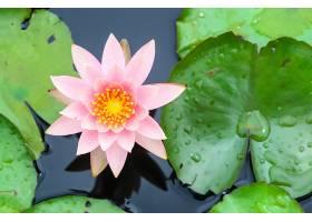 美丽的荷花在池塘里绽放_111875901