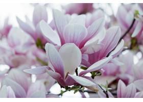粉红色玉兰花在模糊的树上的特写_1134300301
