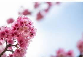 粉红色的樱花在春天盛开_710934101