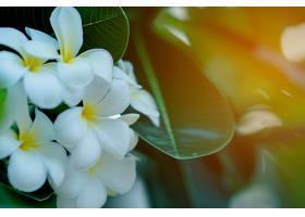 落日背景下的树上开着白黄相间的李花_483556701