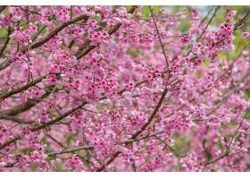 粉红色的樱花在春天盛开_710934501