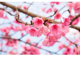 粉红色的樱花盛开_123623301