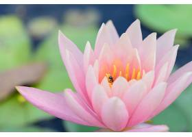粉红色的莲花_115092501