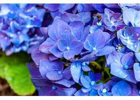 美丽绣球花的特写镜头_997174401