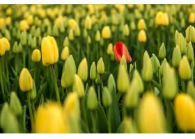 黄色郁金香地里的红色郁金香背景_1007488901