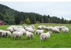 白天在牧场上吃草的羊群_1018609201