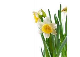 春天的水仙花孤零零地开着_712210301