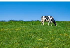 白天在牧场上吃草的黑白相间的奶牛_1215240101
