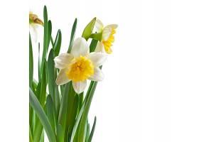 春天的水仙花孤零零地开着_712210401