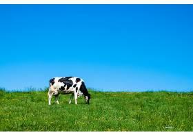 白天在牧场上吃草的黑白相间的奶牛_1215283501