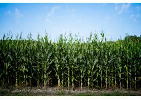 蓝天玉米地的美丽镜头_1099042301