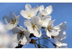 春天背景模糊的树上开着白色的樱花_1063716701