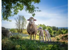 白天母羊和它的两只小羊在草地上_1106303501