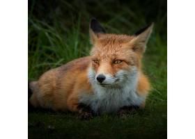 白天草地上的棕色狐狸_850713801