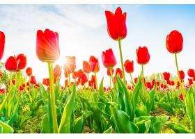春天里美丽的郁金香花束_125452001
