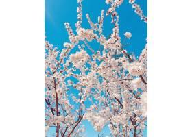 蓝天衬托下美丽樱花的垂直特写镜头_1167836101