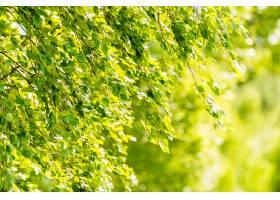 白桦树的春日绿叶壁纸概念_1157769301