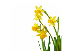 白色上孤立的春花水仙花_725024801