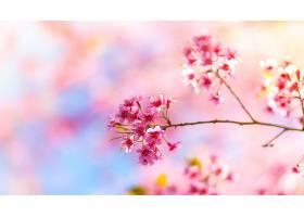 从树枝上开出的粉红色的花_99263901