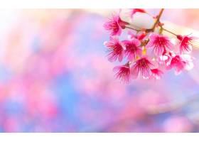 从树枝上开出的粉红色的花_99264001