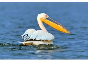 大草原上飞过湖面的大白鹈鹕_1101179701