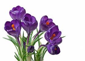 孤立的紫番红花春天的花束_712181101