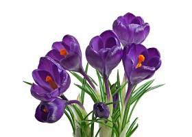 孤立的紫番红花春天的花束_712181201