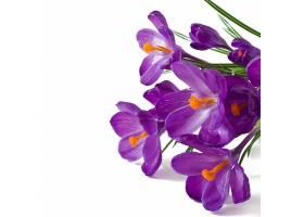 孤立的紫番红花春天的花束_712211601