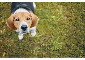 可爱的小狗站在绿色的草地上看着的俯视图_1128463001