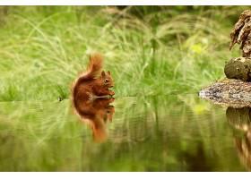 可爱的松鼠在森林里的湖里喝水_1029260501