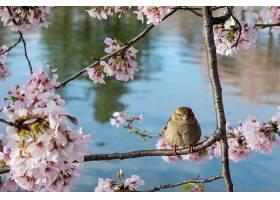 可爱的麻雀栖息在开着美丽樱花的树枝上_1039971401