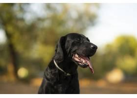 阳光明媚的一天一只拉布拉多猎犬在户外的_1130158801