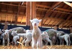 牛舍里可爱的羔羊盯着前面的肖像_1103675901