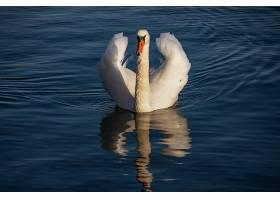 一只美丽的白天鹅在水面上平静地游动_1142483001