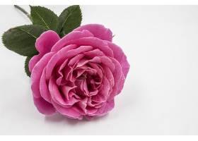 一朵美丽的粉红色玫瑰的特写镜头水滴隔开_1194235401