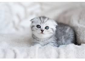 一只蓝眼睛的小灰猫躺在灰色的沙发上_261278901