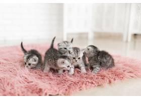 五只小灰猫躺在粉色地毯上_261279001