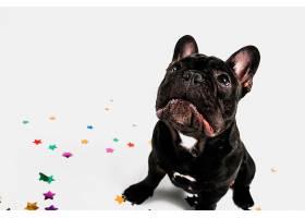 可爱的斗牛犬与派对元素合影_344207101