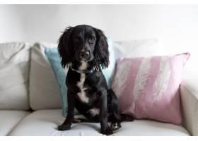 可爱的黑色猎犬坐在沙发上_1060638901