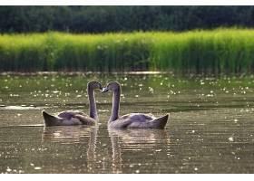 池塘边美丽的天鹅幼崽以野生动物为背景的_124306701